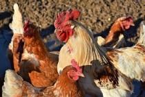 Эффективность применения пробиотиков и синбиотиков в мясном птицеводстве
