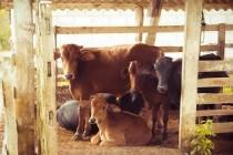 Ученые Донского ГАУ создали препарат для ликвидации бесплодия у коров
