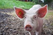 В Китае африканская чума свиней взята под контроль, официальное заявление минсельхоза Китая
