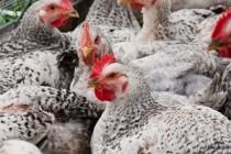 Тюменцам компенсируют стоимость птицы, изъятой в очагах птичьего гриппа