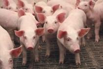 С начала года на 6% выросло производство свинины в Татарстане