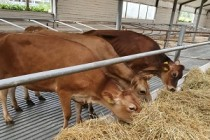 Мясное поголовье КРС в Удмуртии с начала 2020 года выросло на 45%