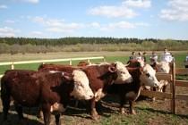 Удмуртские фермеры начнут производить деликатесную мраморную говядину