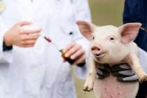 В США создана экспериментальная вакцина от африканской чумы свиней показавшая высокую эффективность