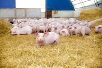 Производство свиней в России увеличилось в 1,3 раза за последние 5 лет