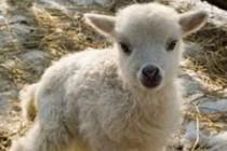 Ветеринарные врачи рассказали о причинах безоарной болезни молодняк