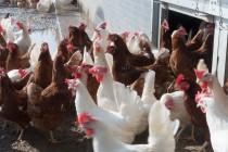 Вопросы экспертам: паразитарные болезни в современном птицеводстве