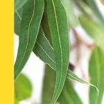 eucalipt aflorin-pl-foto-300