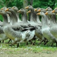 Генофондное птицеводческое хозяйство из Оренбуржья официально носит статус «хранителя редкой породы»