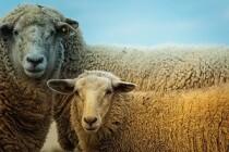 Ученые из Новой Зеландии примут участие в овцеводческом проекте «Дамате»