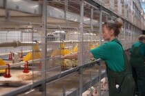 На новой птицефабрике в Голышмановском городском округе Тюменской области прошла первая посадка цыплят бройлеров