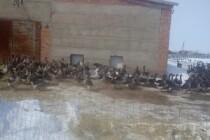 Управление Россельхознадзора по Оренбургской области проверяет птицеводческие предприятия