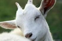 Сбор заявок от ЛПХ на возмещение части затрат на содержание дойных коров, козоматок в Татарстане