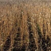 Режим ЧС по засухе введен еще в 12 муниципалитетах Оренбургской области