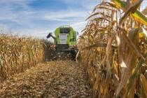В Удмуртии начинается новый этап кормозаготовительных работ – закладка силосной массы из кукурузы
